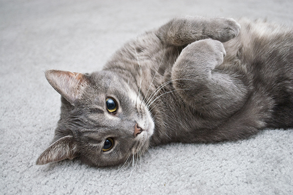 Kidney Toxicity in Cats