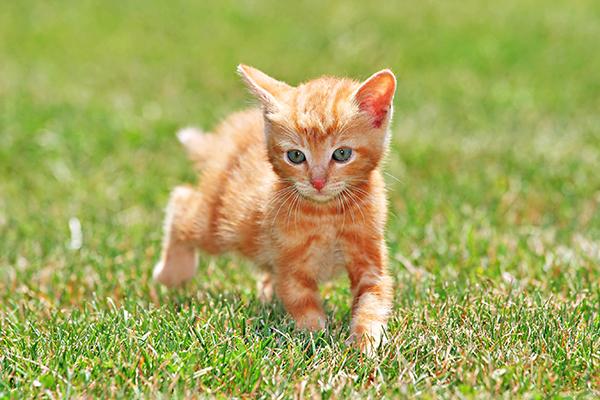 Kneecap Dislocation in Cats