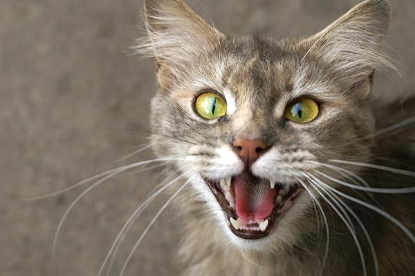 Laryngeal Disease in Cats in Cats
