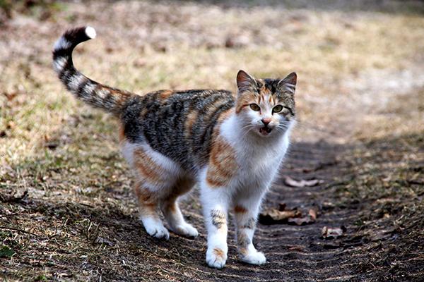 Laryngitis in Cats