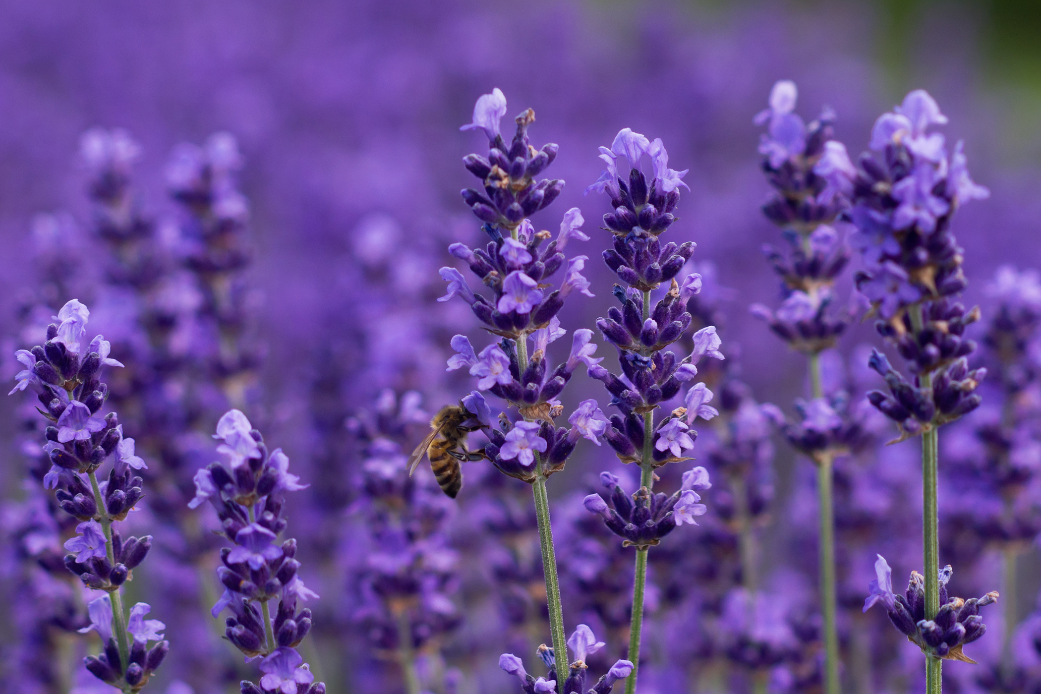 Lavender Allergy in Cats