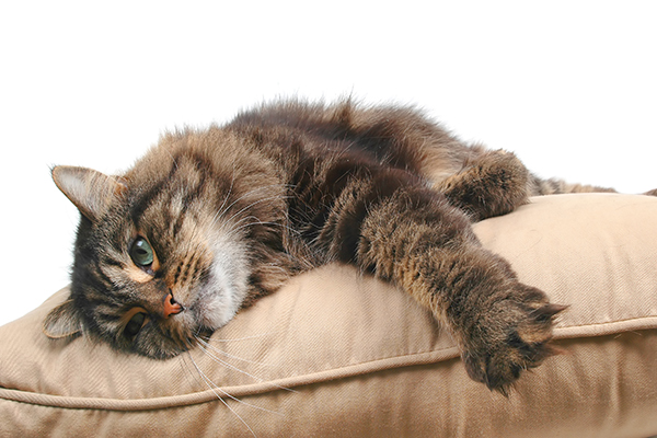 Leg Paralysis in Cats