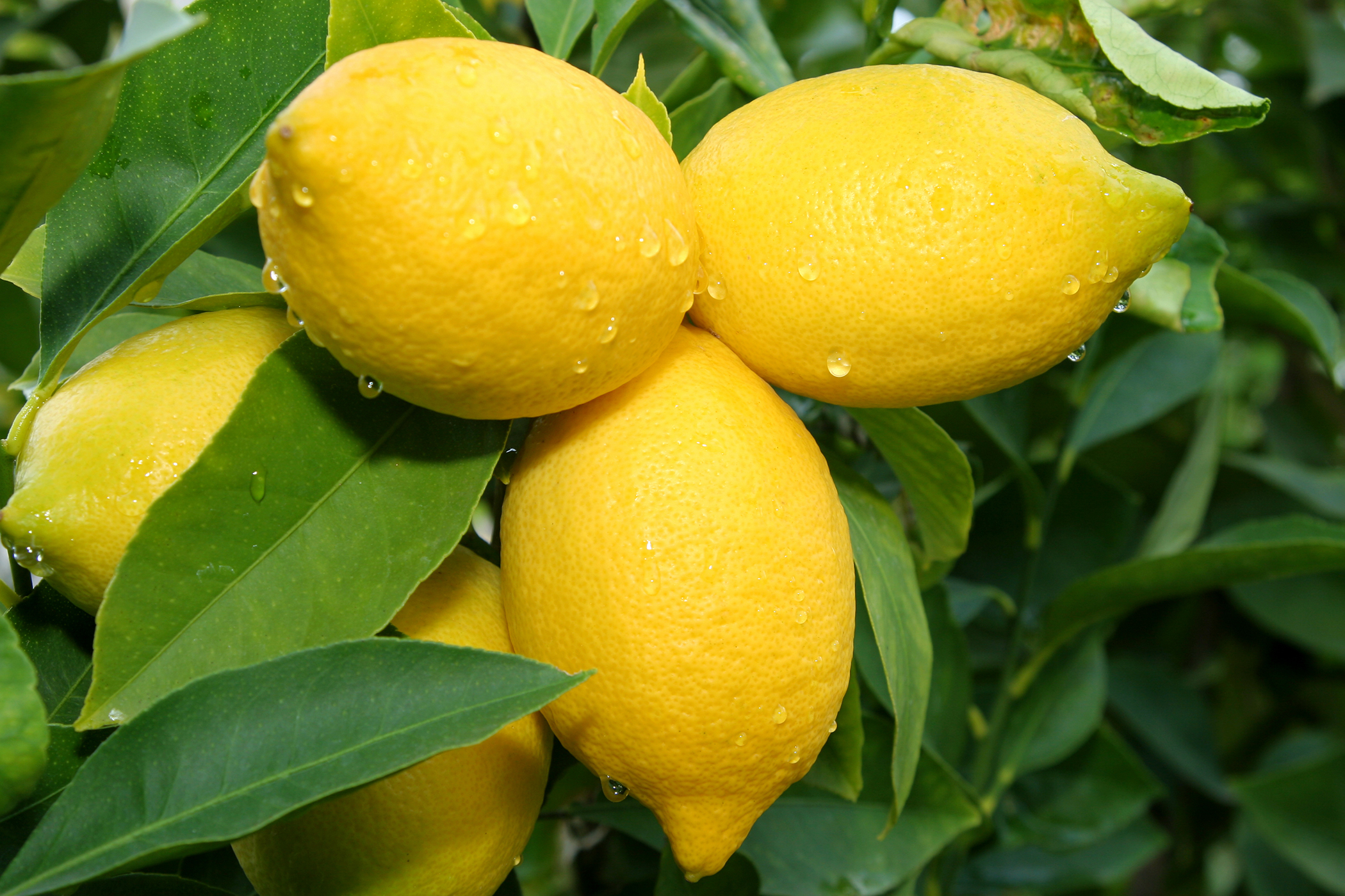 Lemon Poisoning in Cats