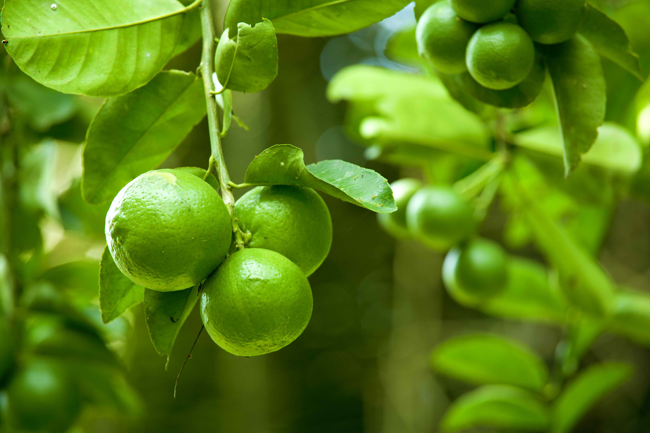 Lime Poisoning in Cats