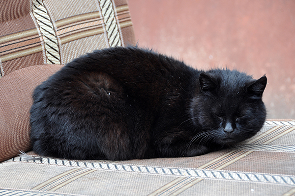 Liver Toxins in Cats