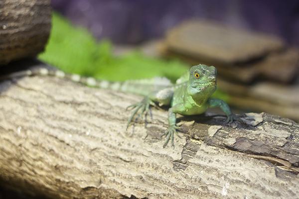 Lizard Bite Poisoning in Cats