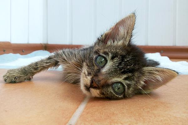 Low Blood Potassium in Cats