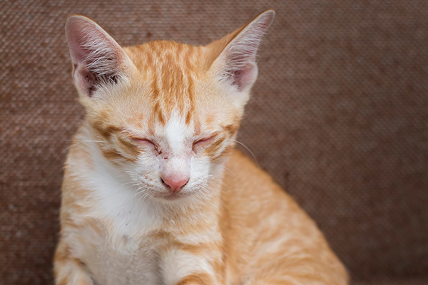 Low Blood Sugar in Cats