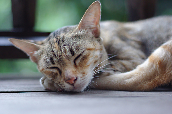 Low Platelet Count in Cats