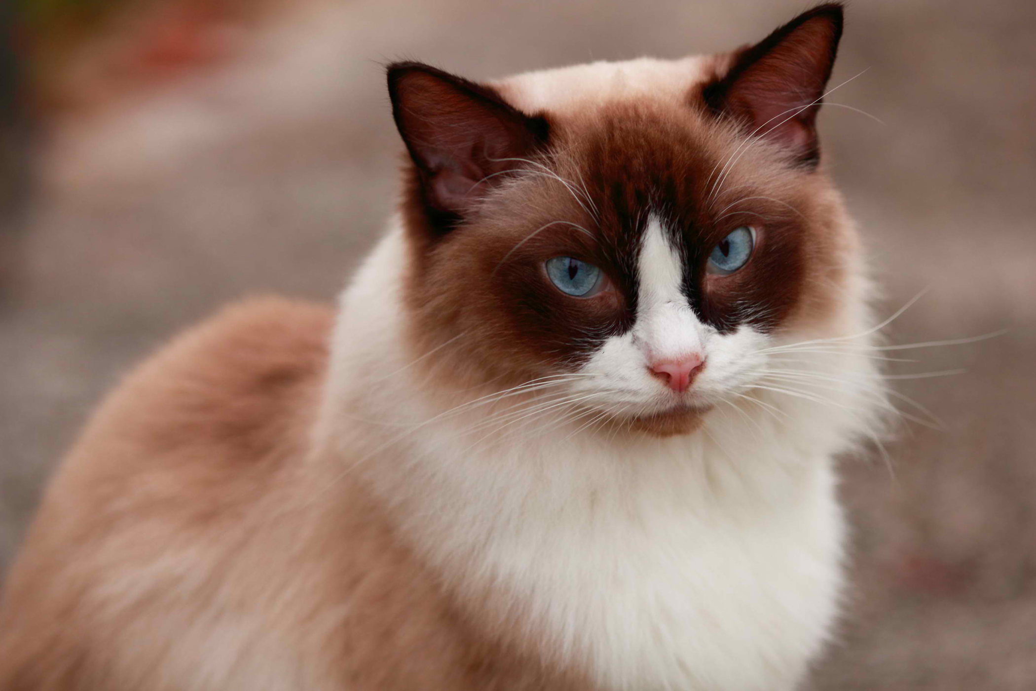 Low White Blood Cell Count in Cats