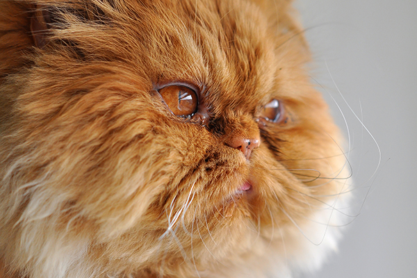 Lower Eyelid Drooping in Cats