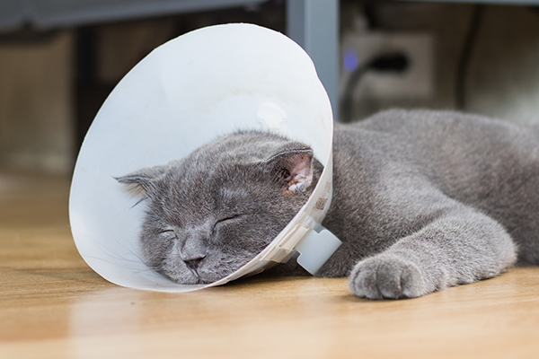 Lung Lobe Twisting in Cats
