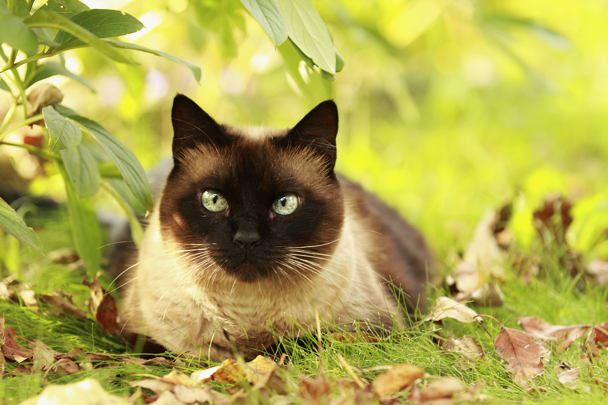 Lysine Allergy in Cats