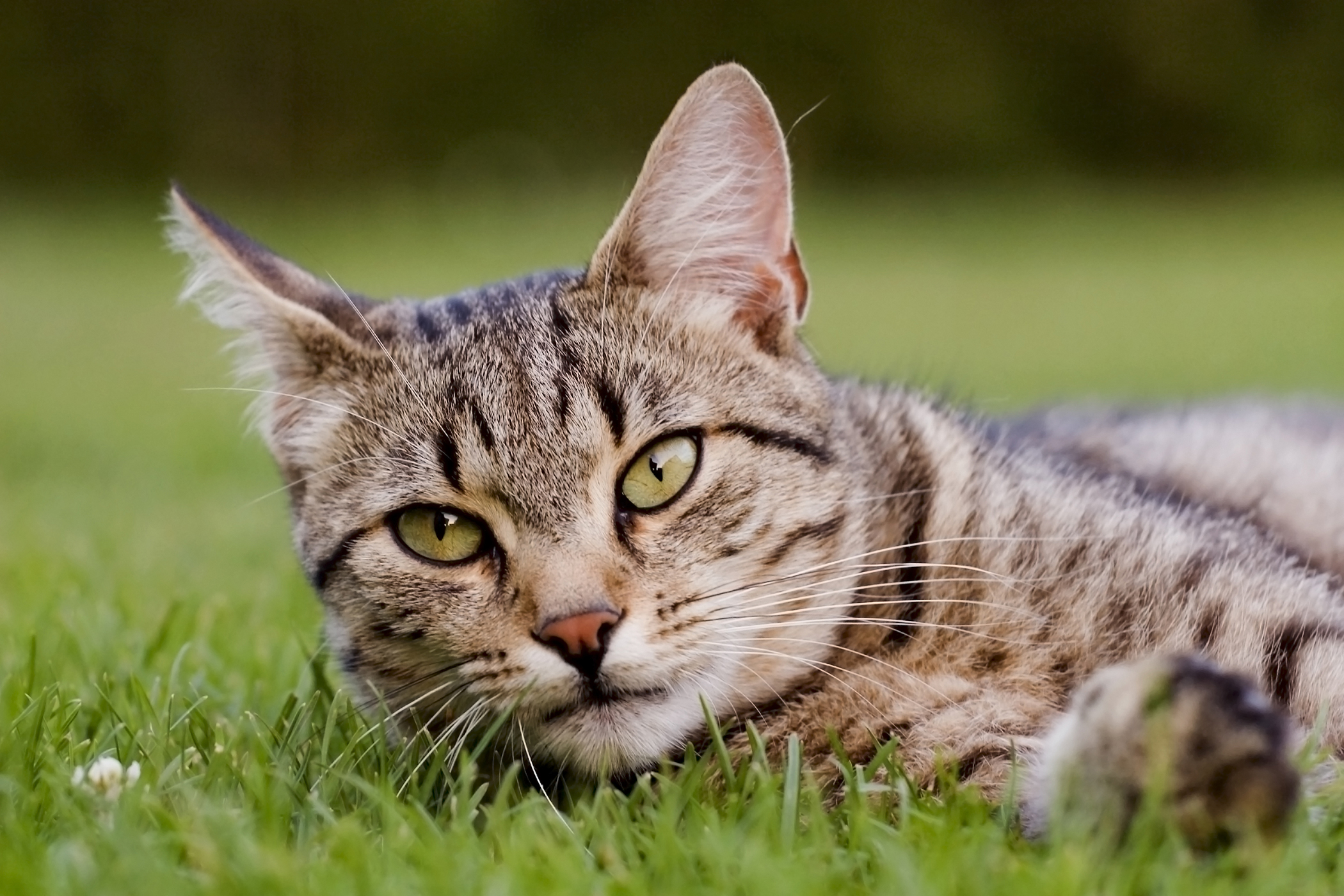 Lysol Allergy and Adverse Reaction  in Cats