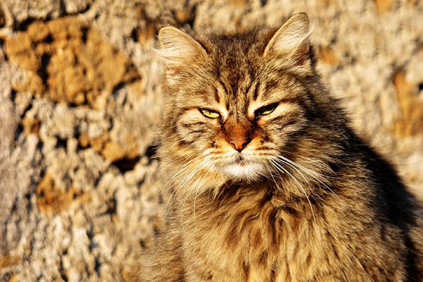 Malignant Hyperthermia in Cats