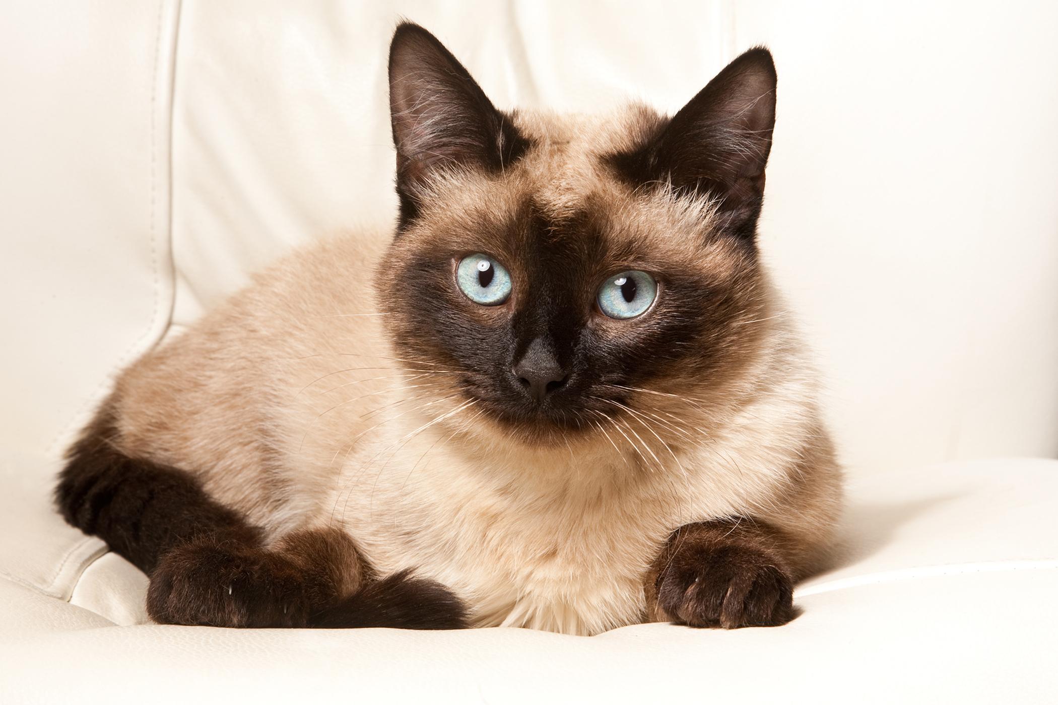 Megaloblastic Anemia in Cats
