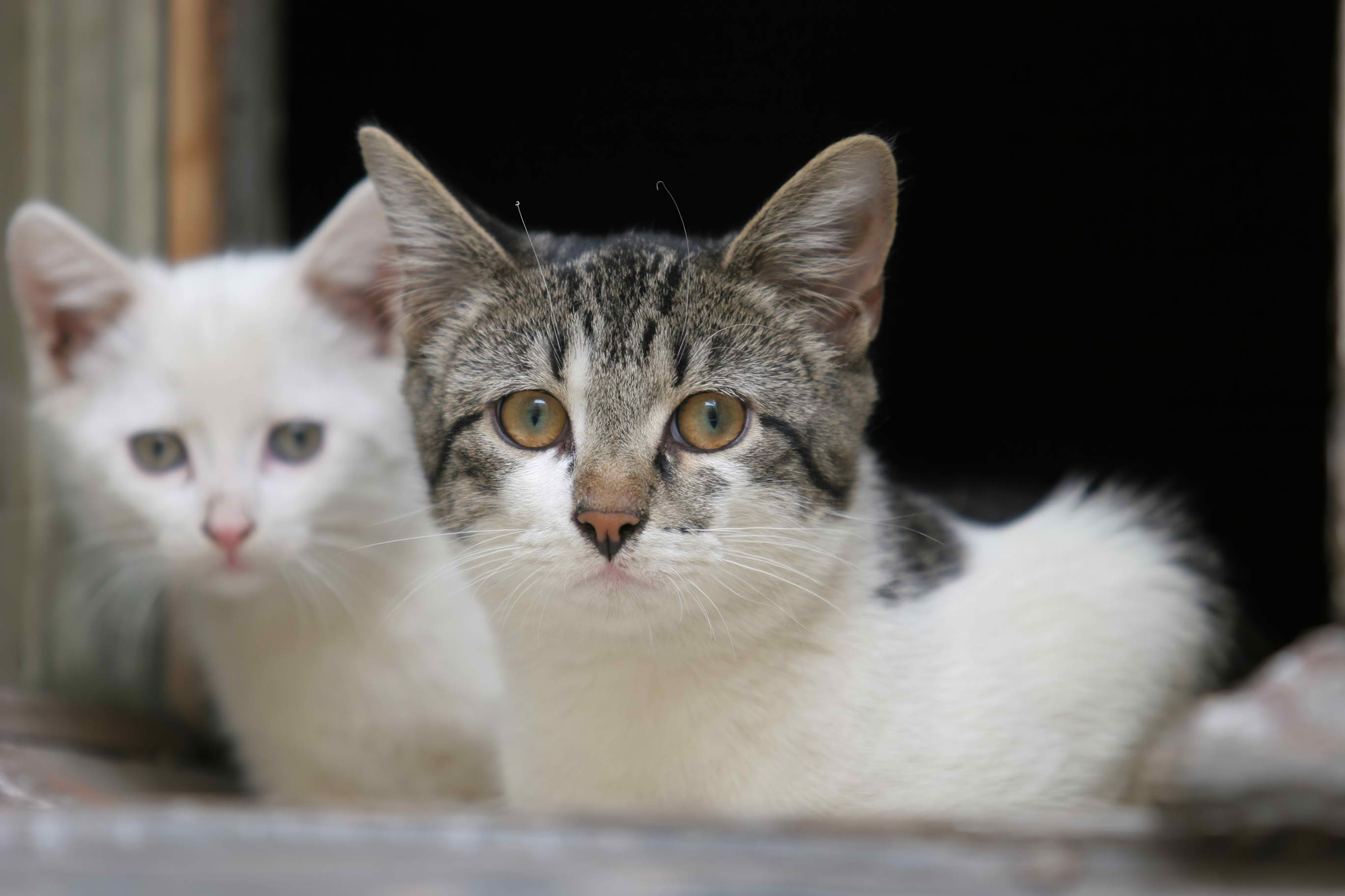 Meningomyelitis in Cats