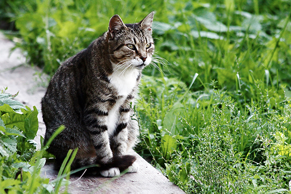 Mesothelioma in Cats