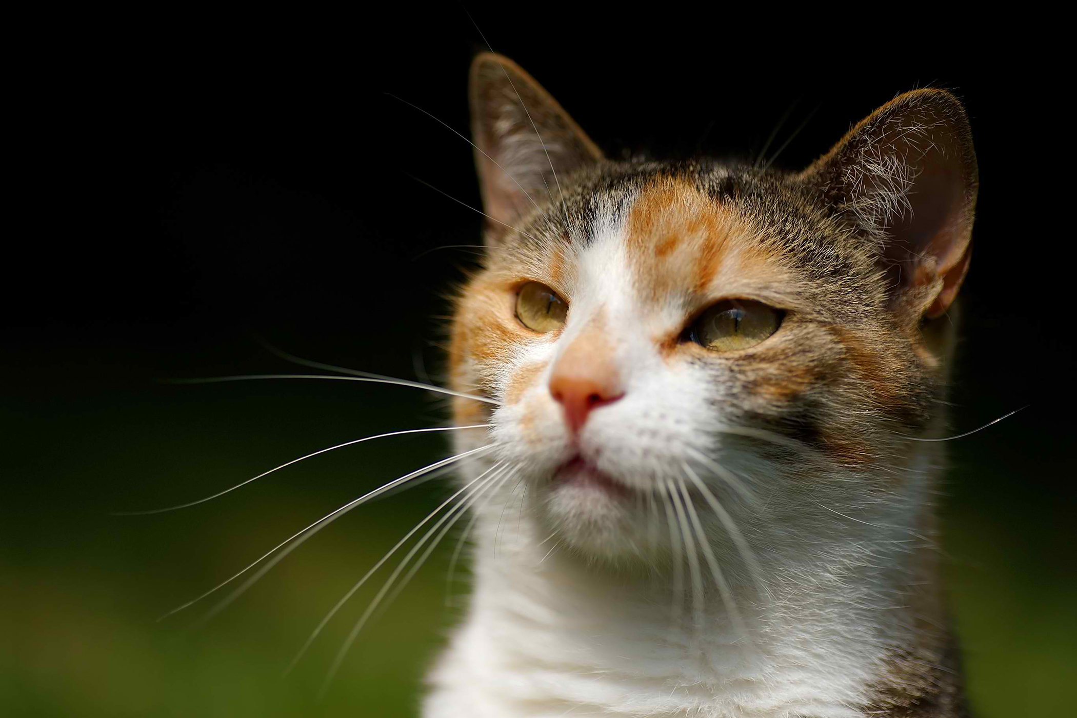 Metabolic Anemia in Cats