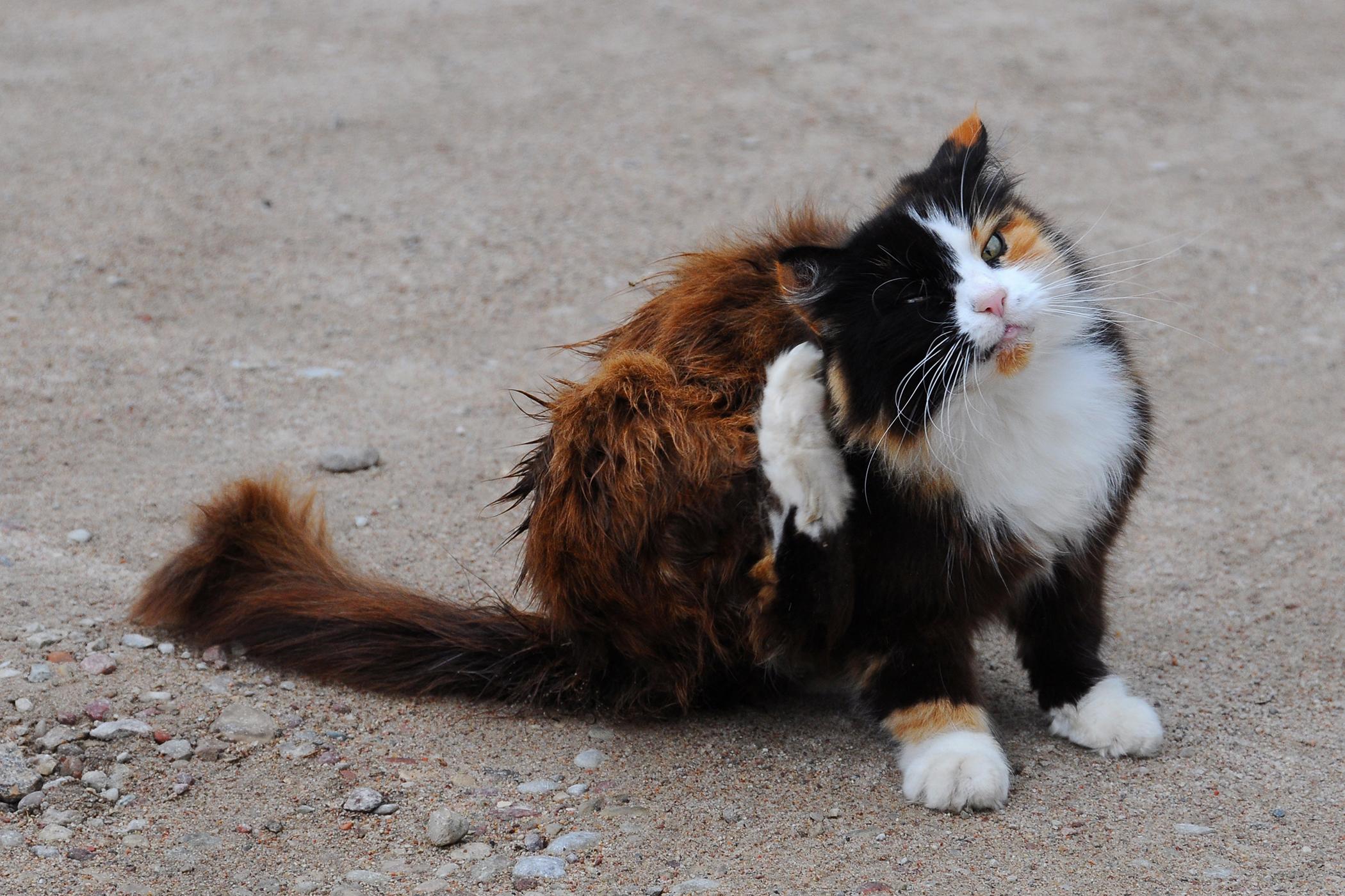 Metal Allergy in Cats