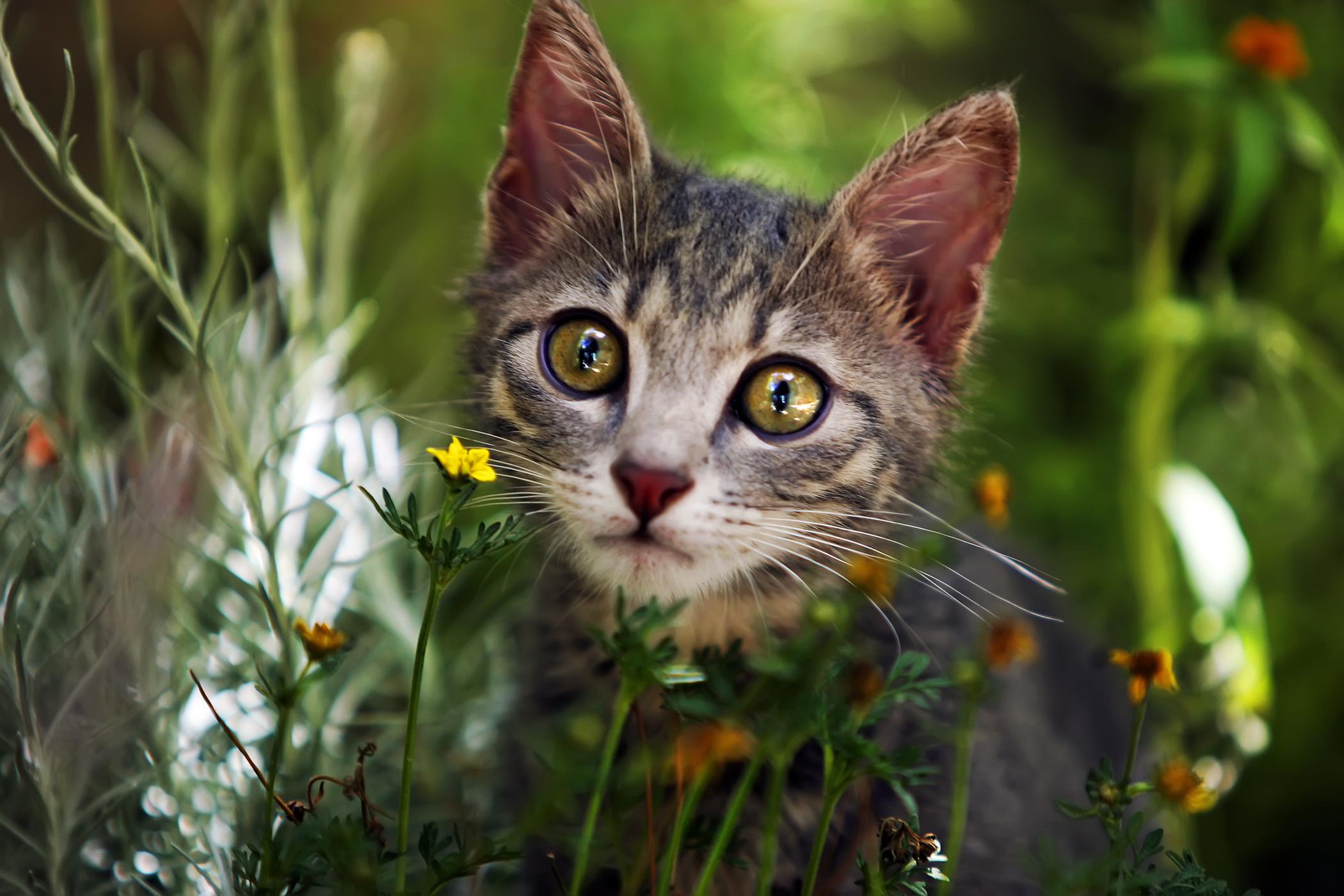 Methimazole Allergy in Cats