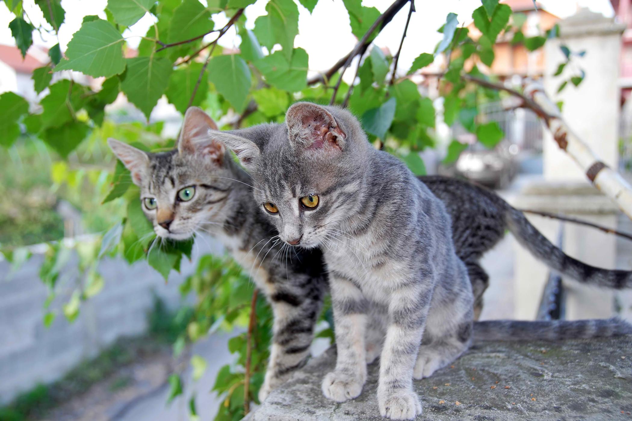 Microsporidiosis Encephalitozoonosis in Cats
