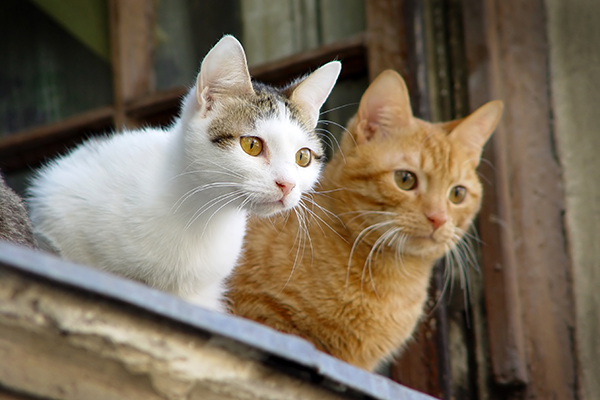 Miscarriage in Cats