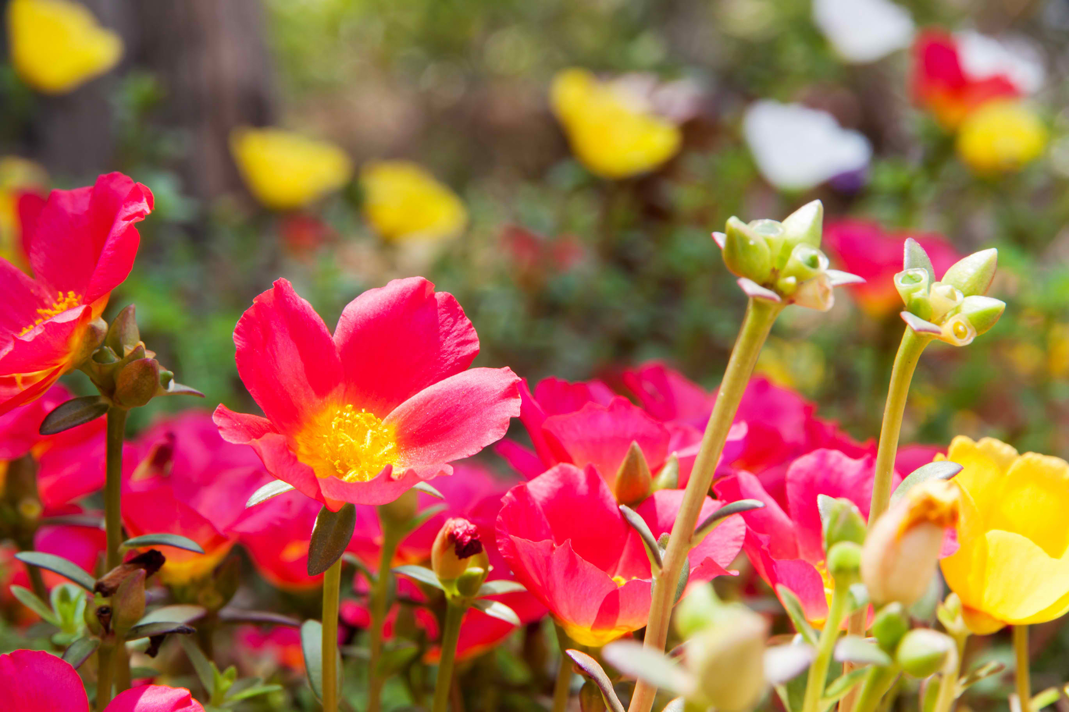 Moss Rose Poisoning in Cats