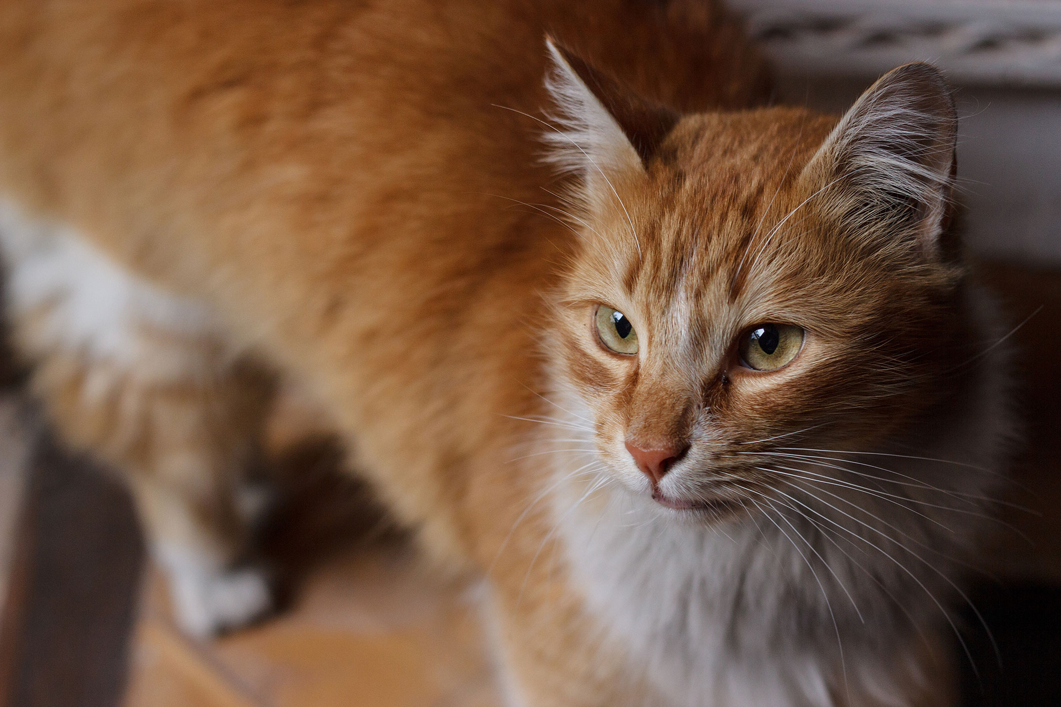 Mycoplasma Infection in Cats
