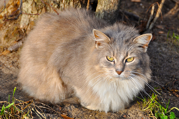 Myelin Deficiency in Cats - Symptoms, Causes, Diagnosis, Treatment, Recovery, Management, Cost