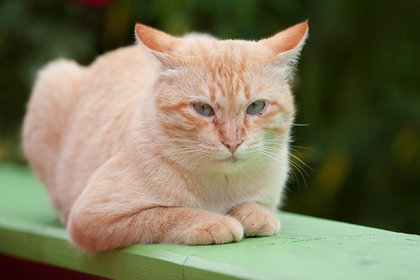 Myeloproliferative Disorders in Cats