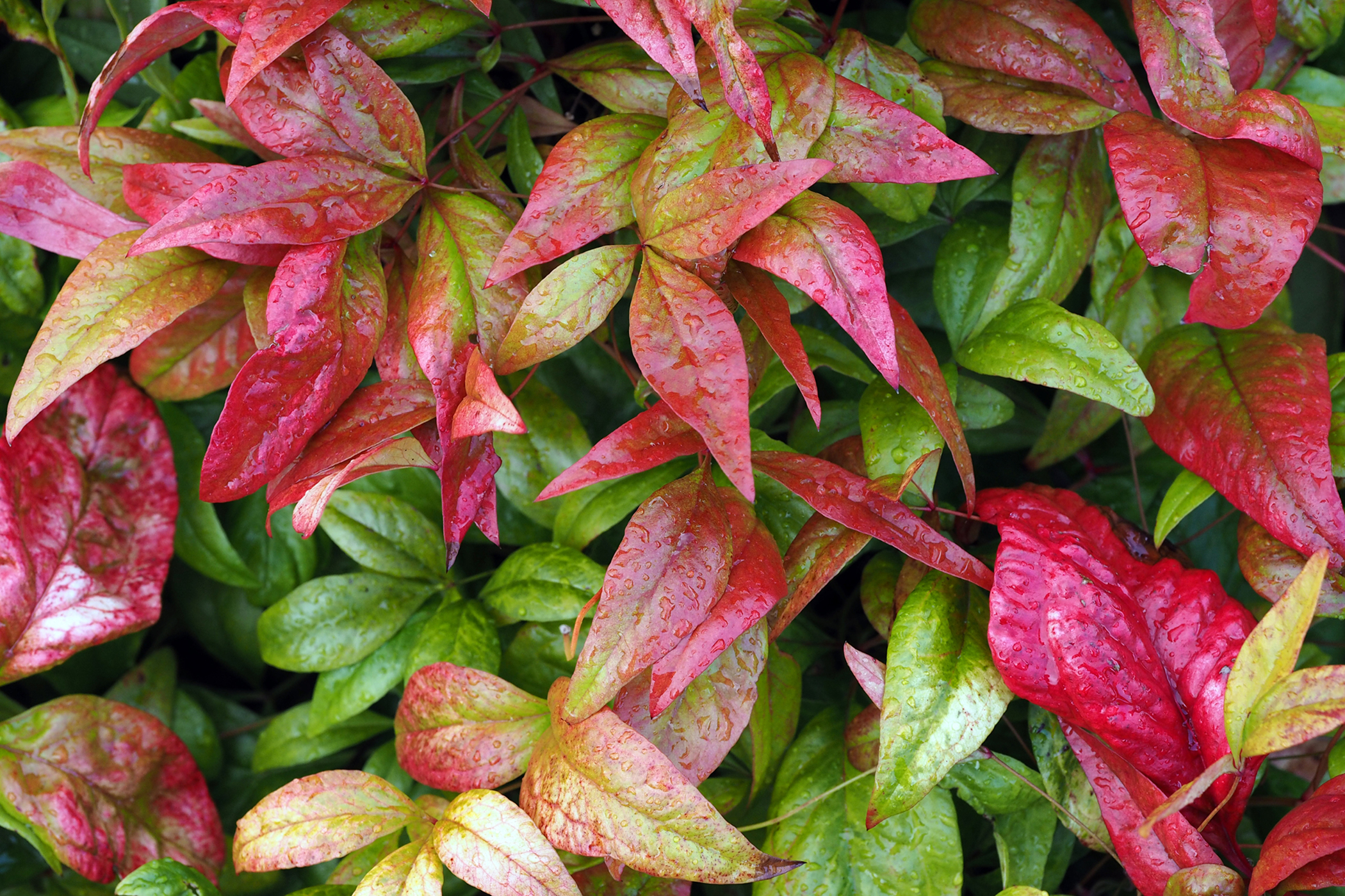 Nandina Poisoning in Cats
