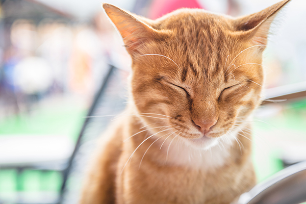 Narcolepsy and Cataplexy in Cats