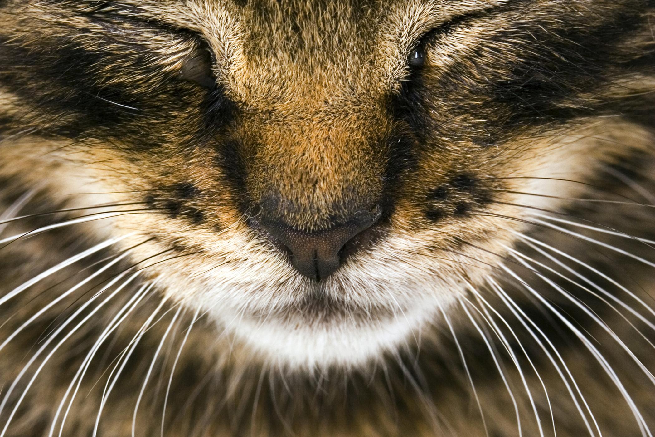 Necrotizing Fasciitis in Cats