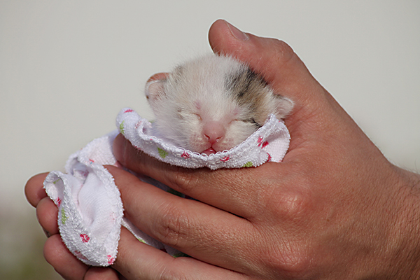 Neonatal Isoerythrolysis in Cats