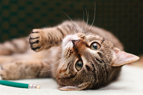 Neuromuscular Disorders in Cats