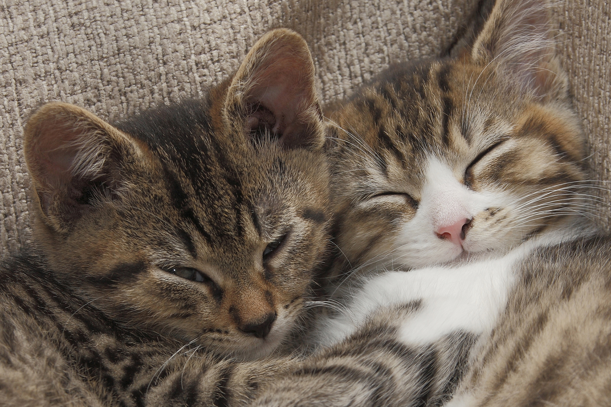 Nonsteroidal Anti-Inflammatory Drug Toxicity in Cats