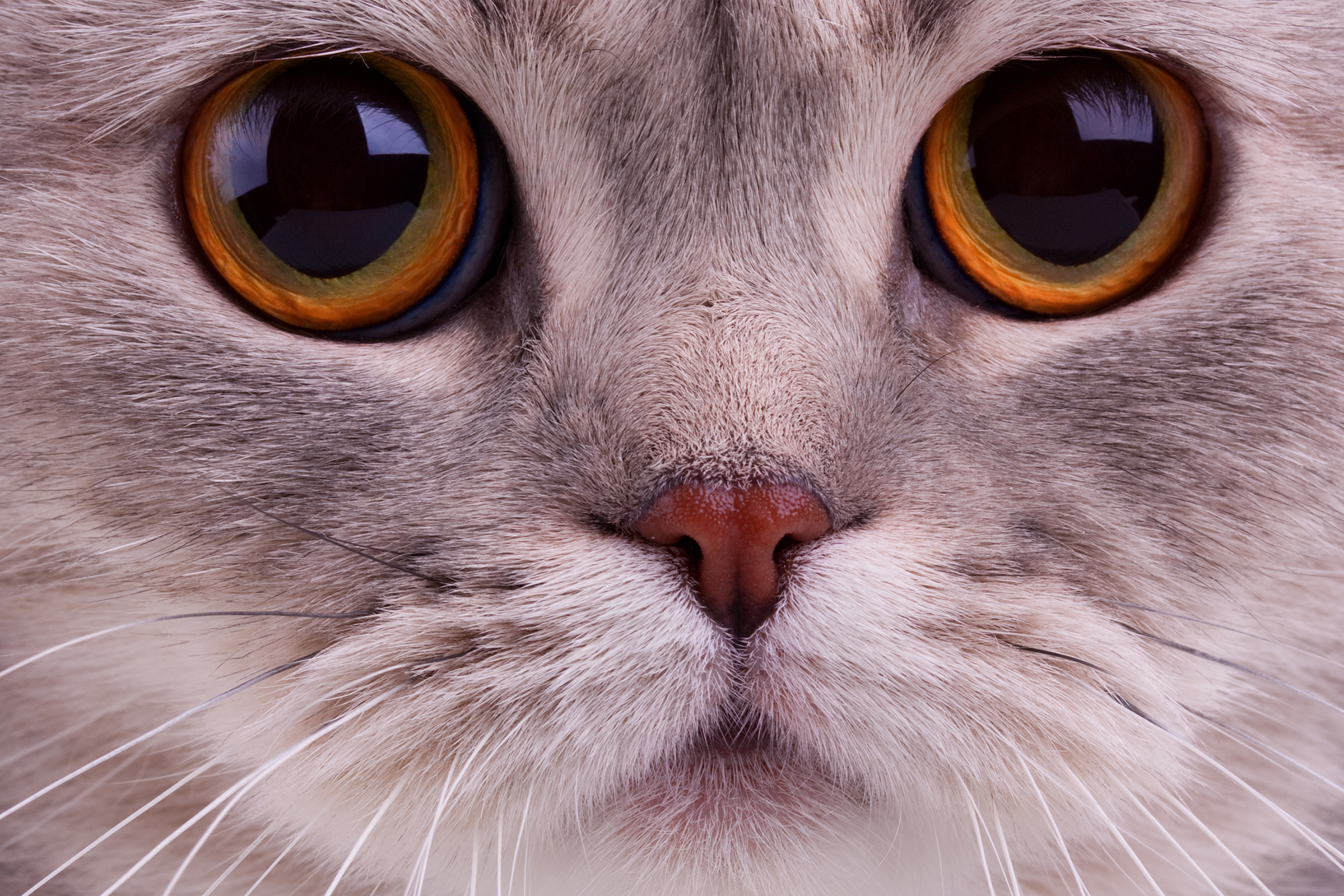 Nonulcerative Keratitis in Cats