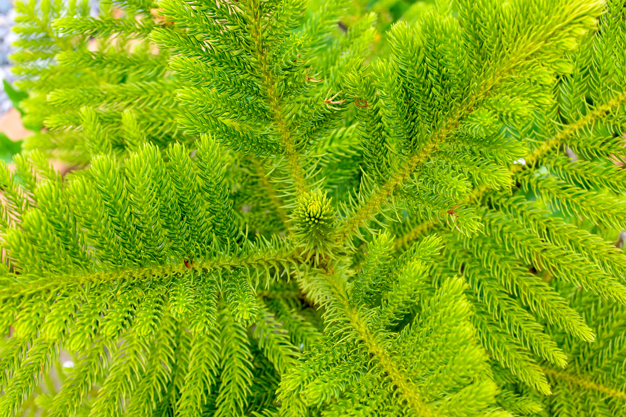Norfolk Island Pine Poisoning in Cats