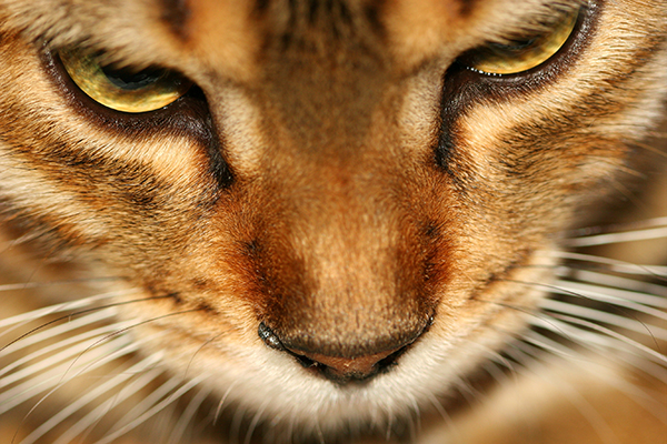 Nose and Sinus Inflammation in Cats