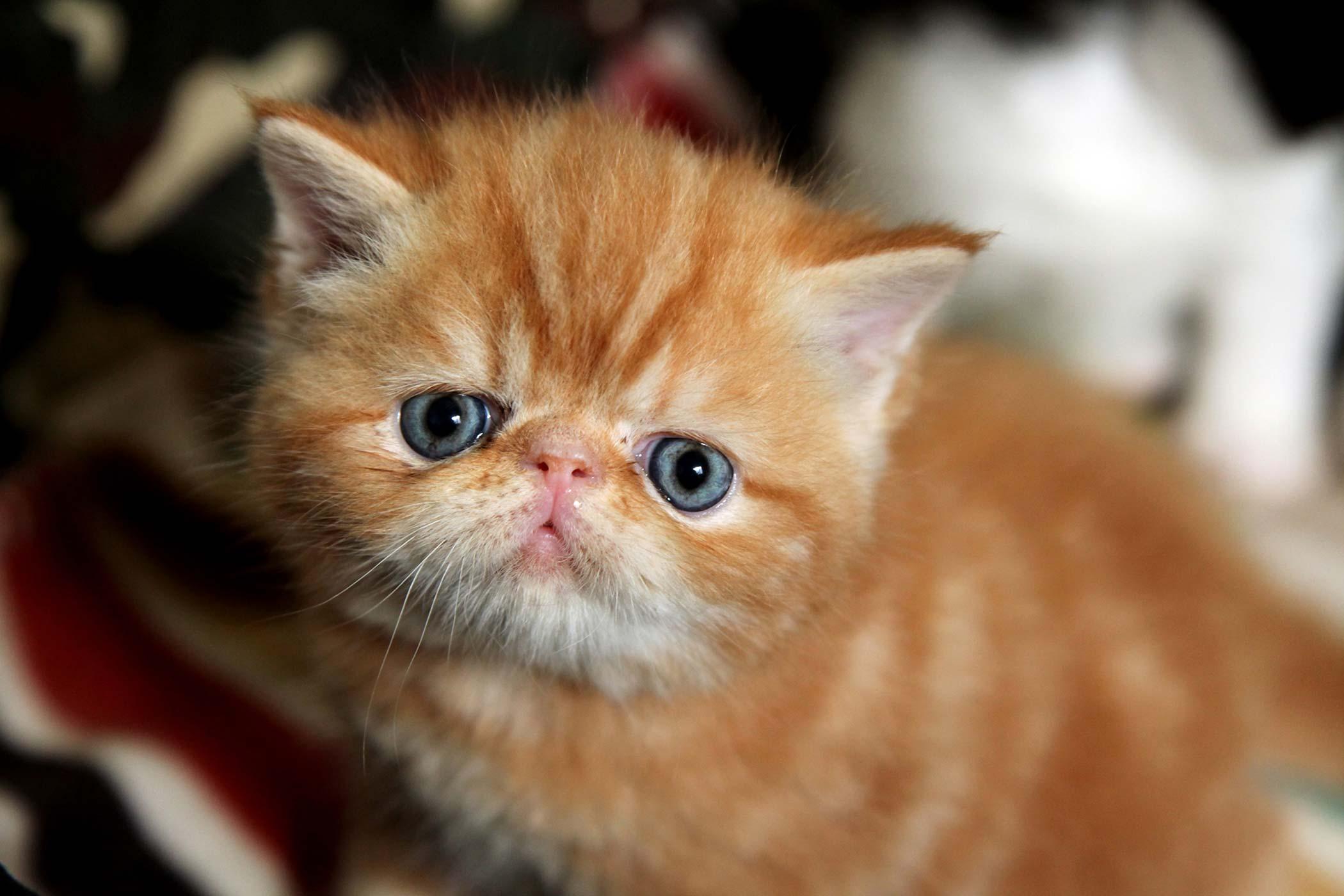 Persian cat nose bleed