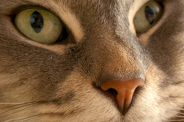 Optic Nerve Swelling in Cats