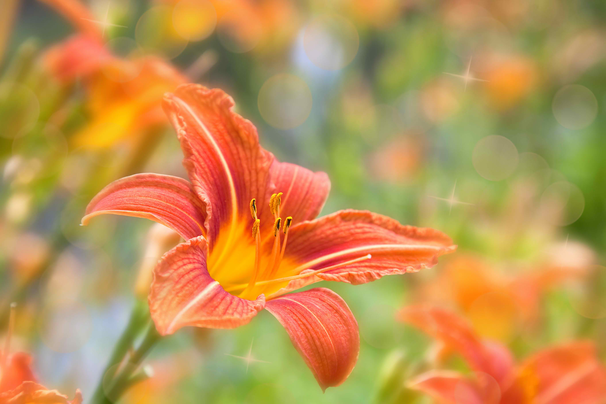 Orange Daylily Poisoning in Cats