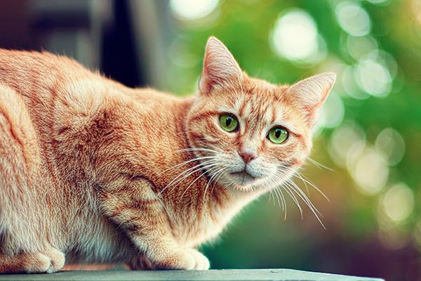 Ovarian Tumors in Cats