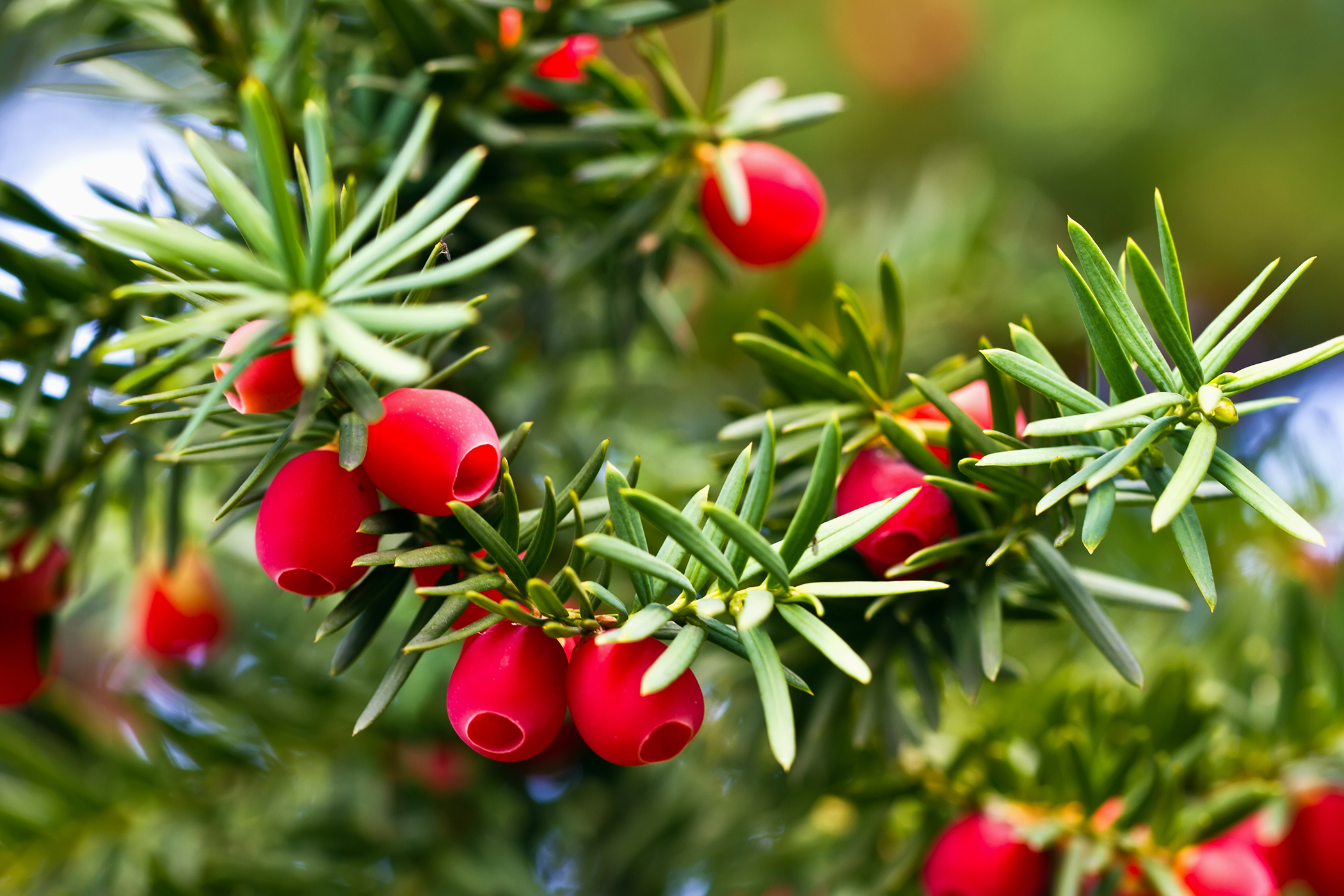 Pacific Yew Poisoning in Cats