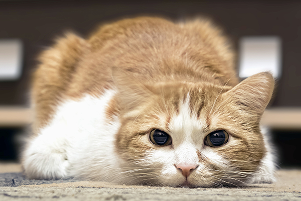 Pain in Cats