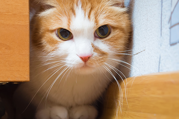 Painful Abdomen in Cats