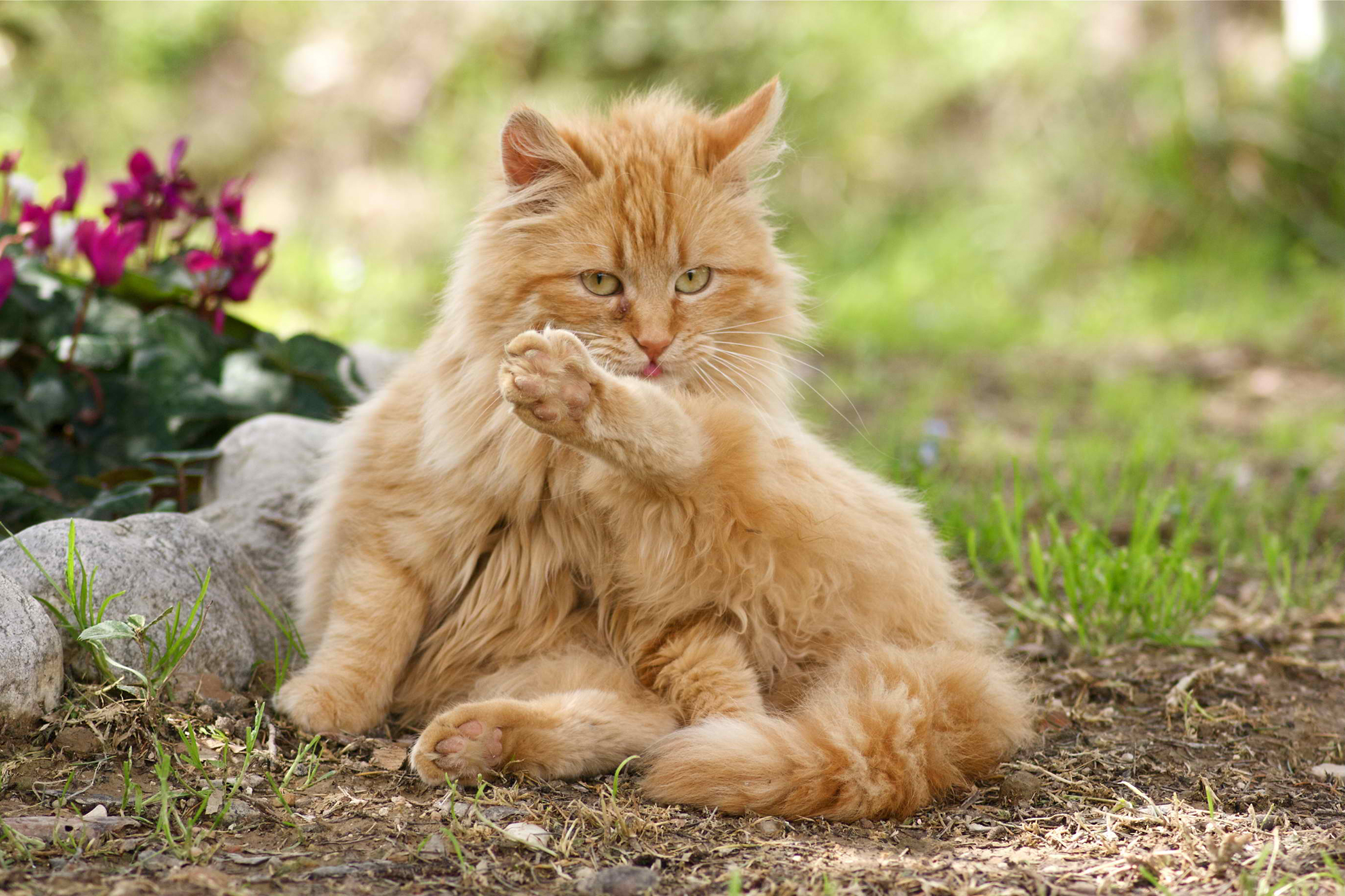 Painful Bladder Syndrome in Cats