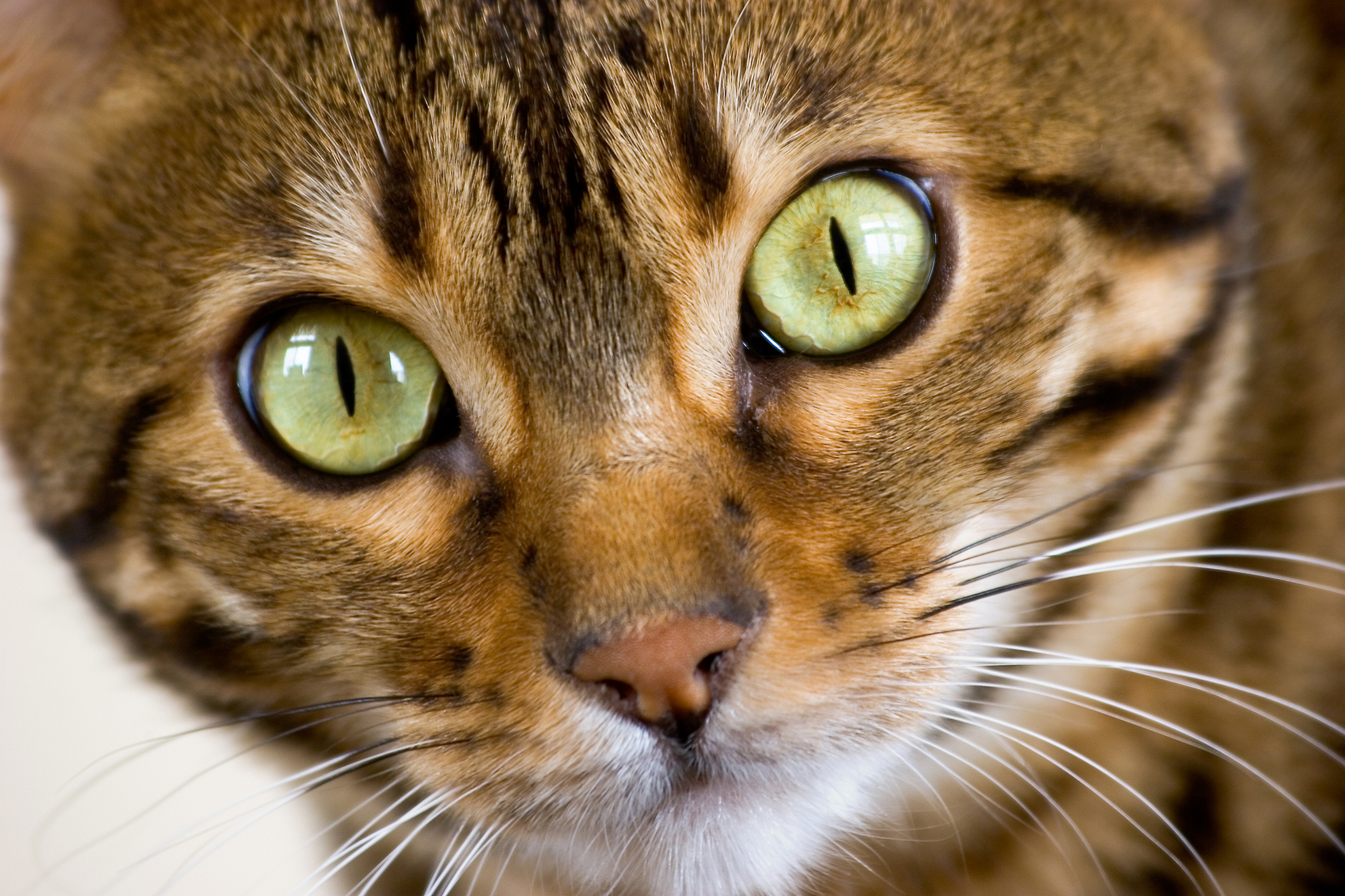 Paralysis of the Larynx in Cats