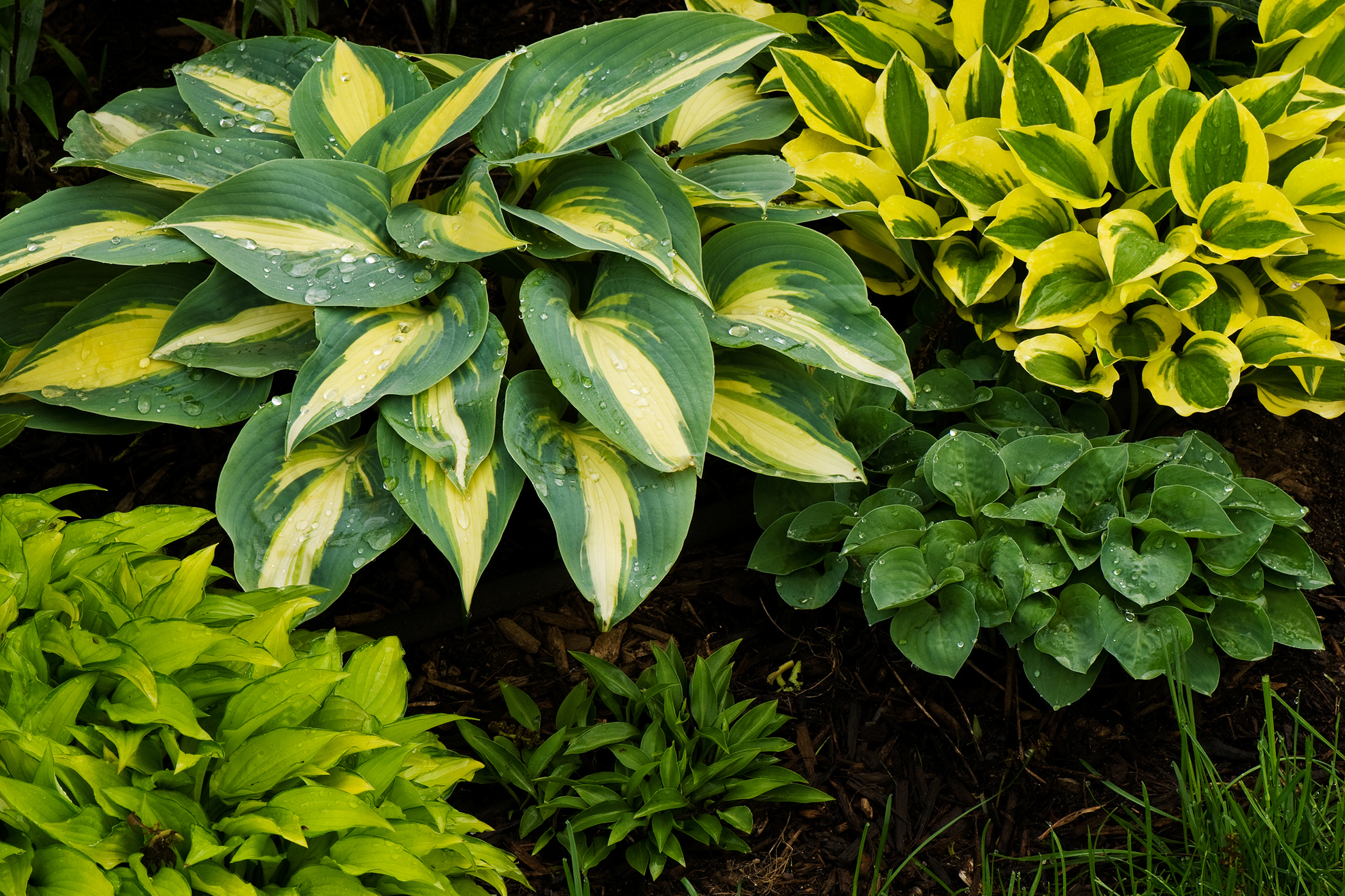 Plantain Lily Poisoning in Cats